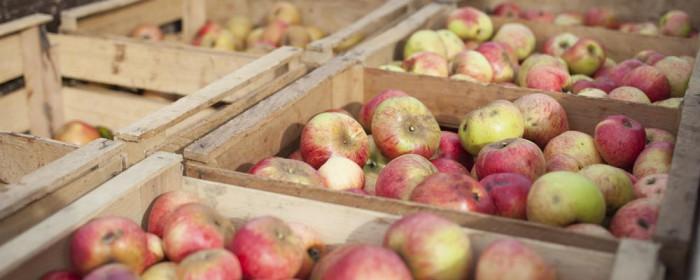 Äpfel mit Macken geben den besten Saft
